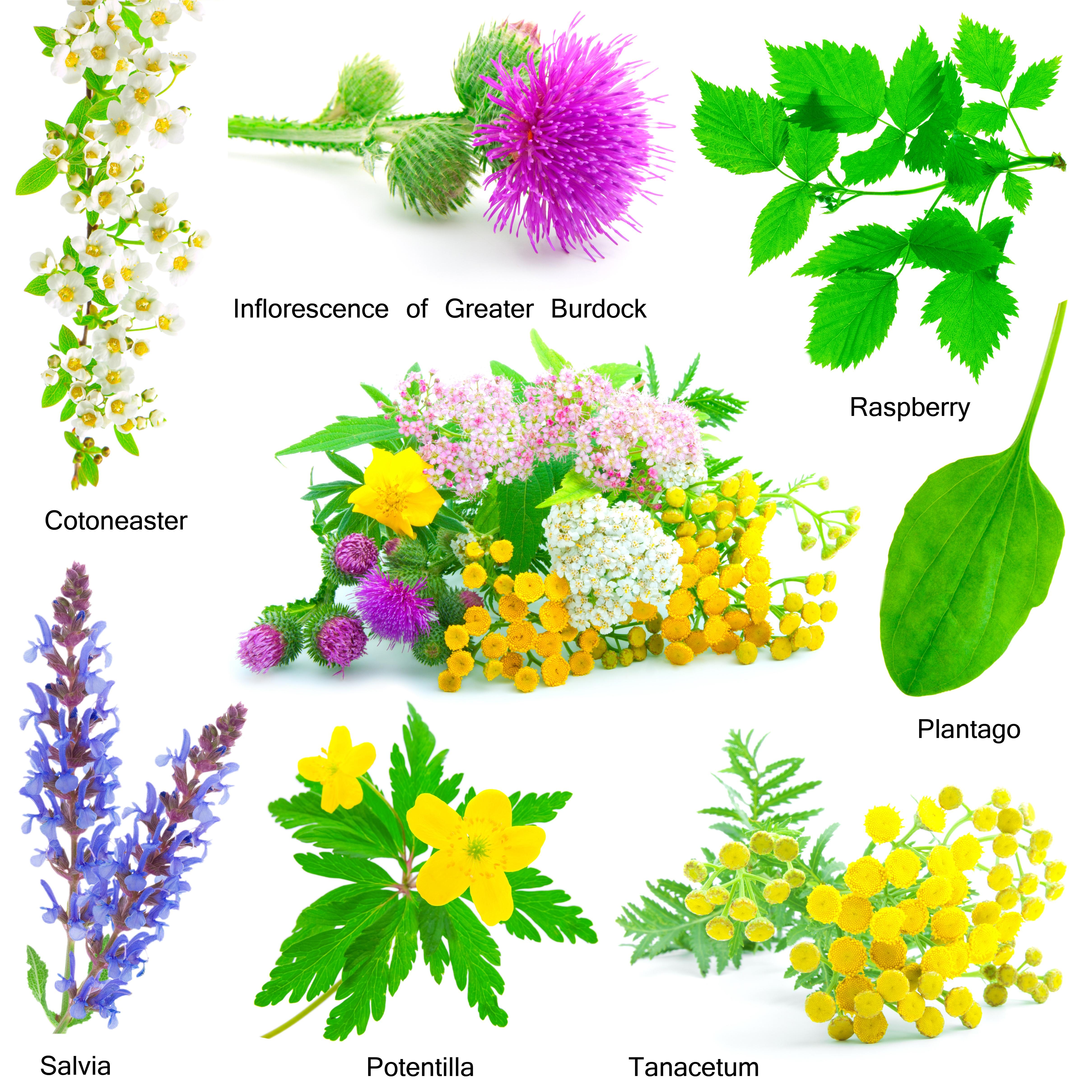 Plantas medicinales fitoterapia gu a online de for Plantas decorativas con sus nombres