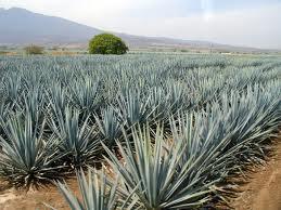 La planta del tequila ahora presenta muchos más usos medicinales